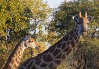 315-giraffen