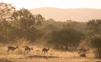 353-impalas