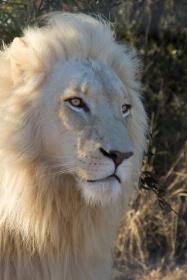 621-leeuw
