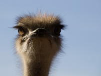 1062-struisvogelvrouw