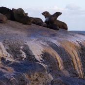 850 zeeleeuwen