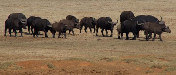 95-buffels