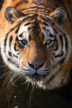 24-tijger