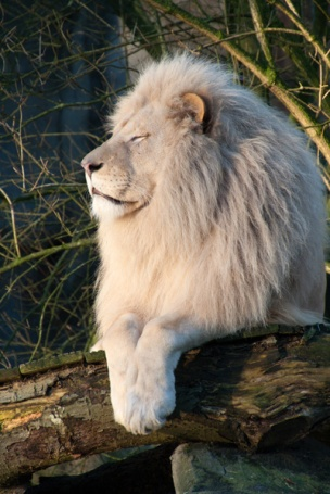 26-leeuw