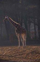 19-giraf