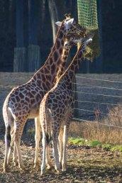 22-giraffen