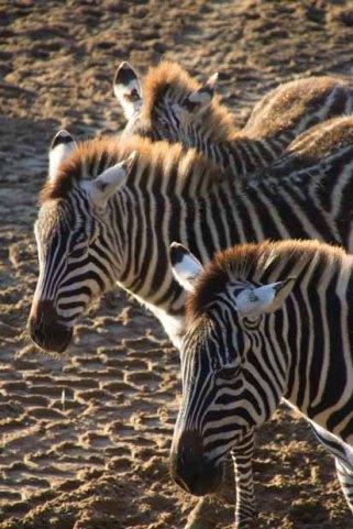 23-zebras