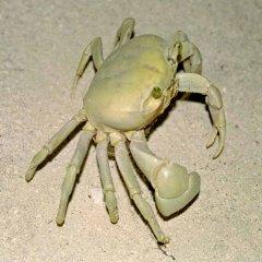 30-krab
