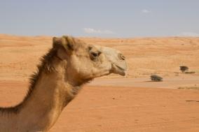 488 kameel