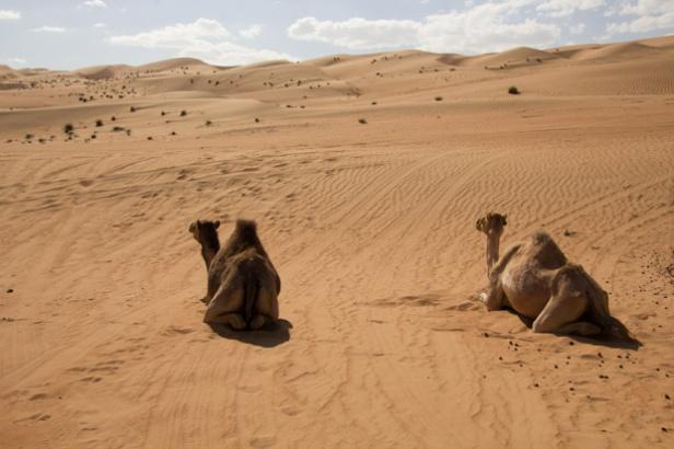 490 kamelen