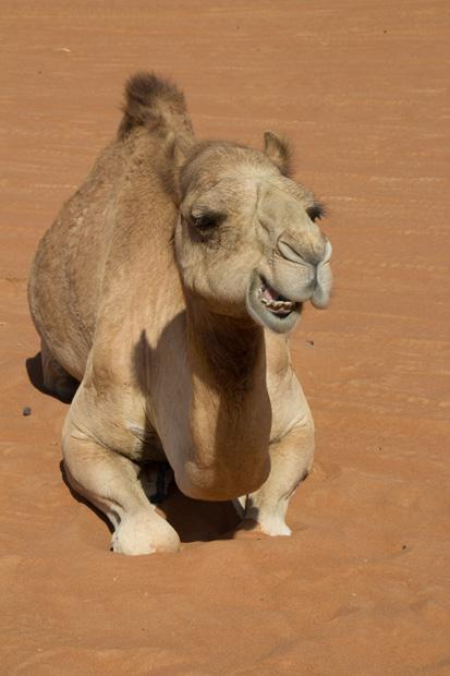491 kameel