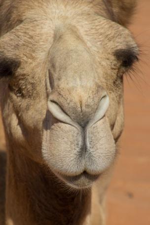496 kameel