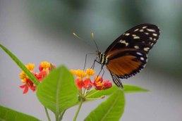 17 vlinder