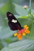 26 vlinder