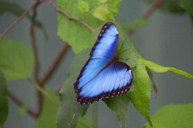 37 blauw