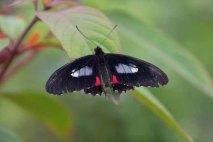 49 vlinder