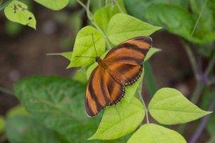 51 vlinder