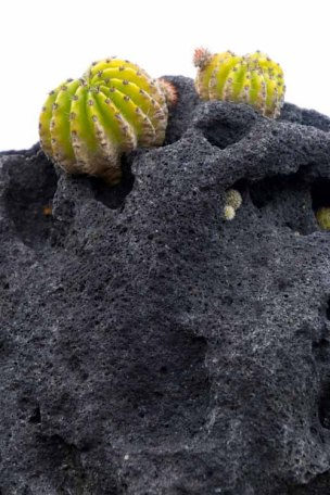 195 cactusjes