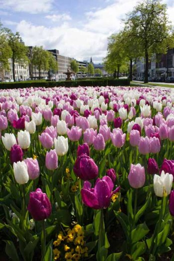 03 tulpen