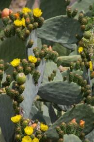 329 cactusbloemen