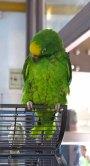 34 papegaai