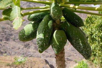 225 papayas