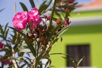 67 oleander