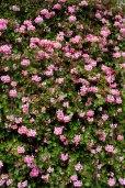 14 geraniums