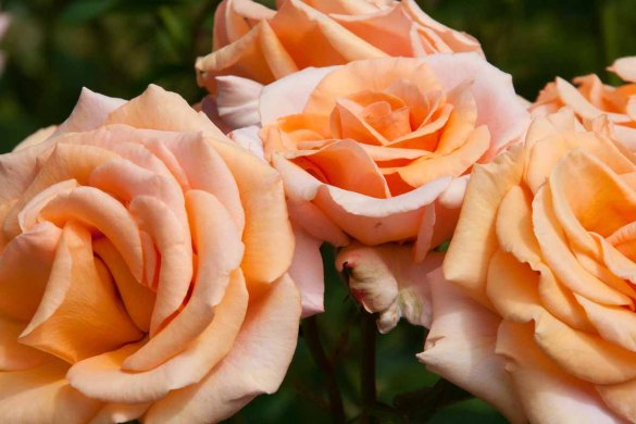 23 rozen