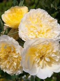 24 rozen