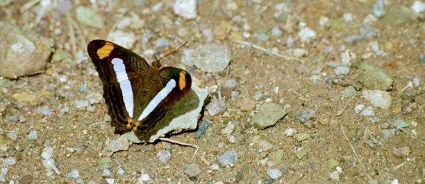 13 vlinder