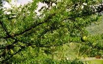 33 fruitboom