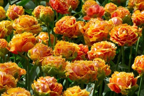 07 dubbele tulpen