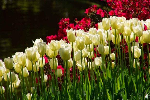 14 witte tulpen