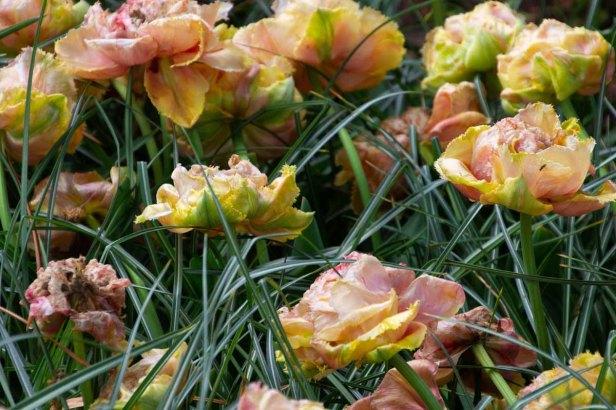26 tulpen