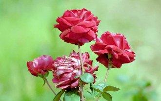45 rozen