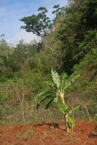 107 bananenboom