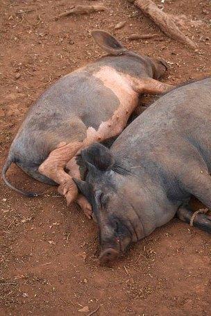 145 varkens